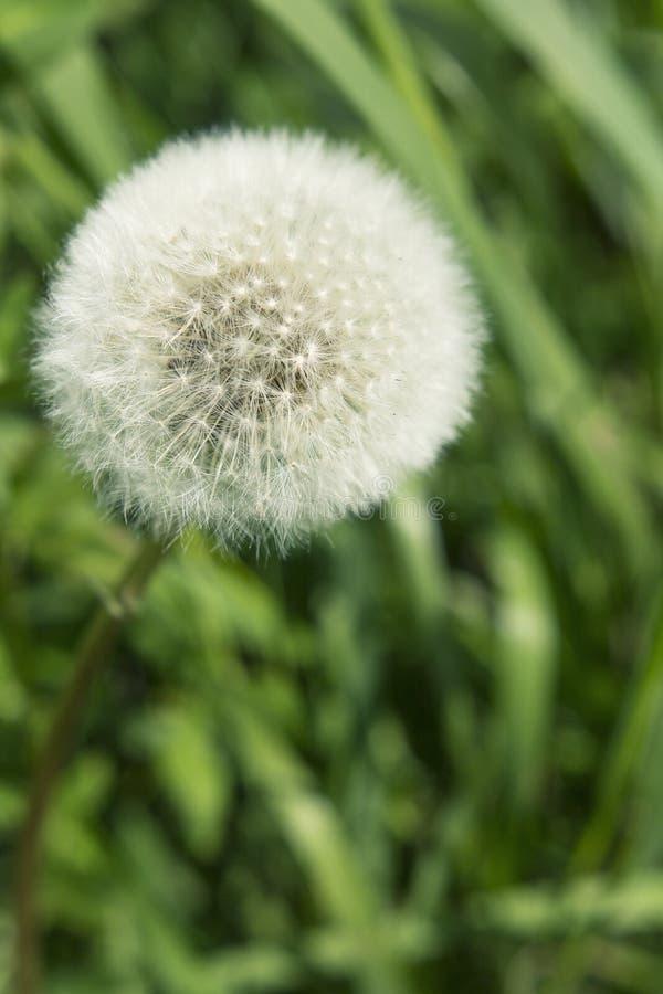 Le pissenlit pelucheux blanc a fleuri photographie stock