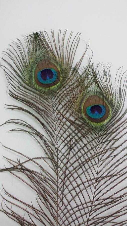 Le piume del pavone immagine stock