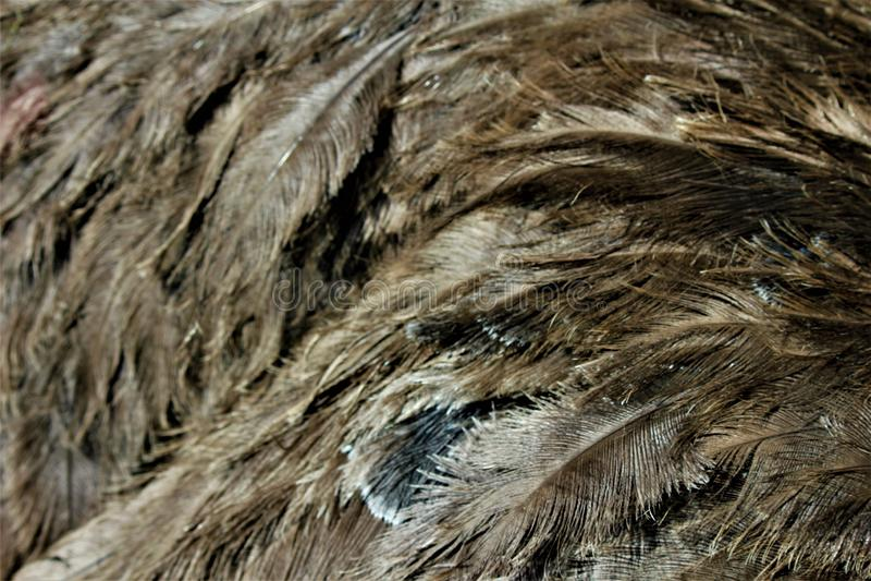 Le piume di uno struzzo fotografie stock libere da diritti