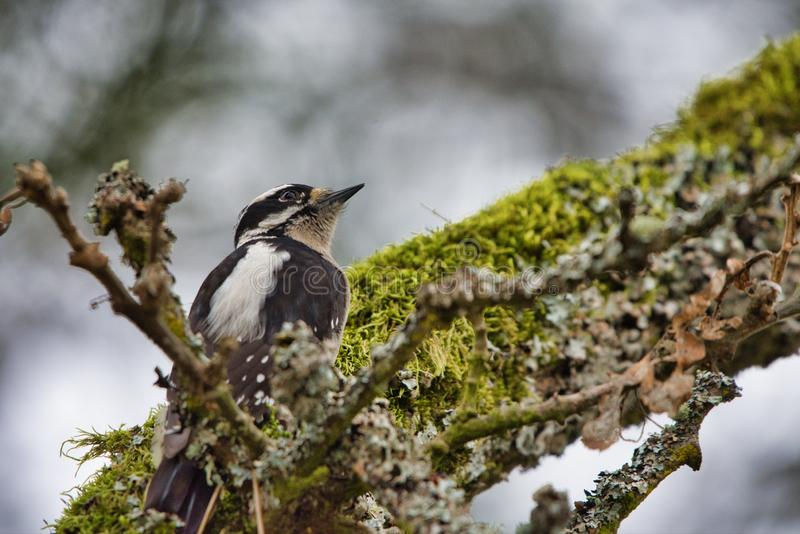 Le pivert duveteux femelle sur une mousse a couvert la branche de Garry Oak images libres de droits