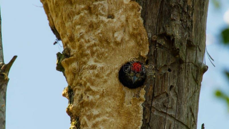 Le pivert gonflé rouge exige du trou de nid dans le tronc de paume photographie stock libre de droits