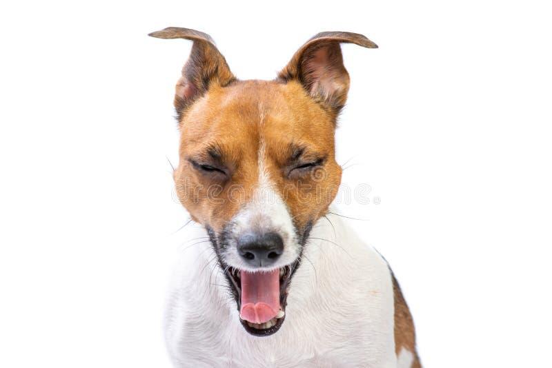 Le plan rapproché baîlle portrait drôle Jack Russell Terrier, se tenant dans l'avant, fond blanc d'isolement image stock