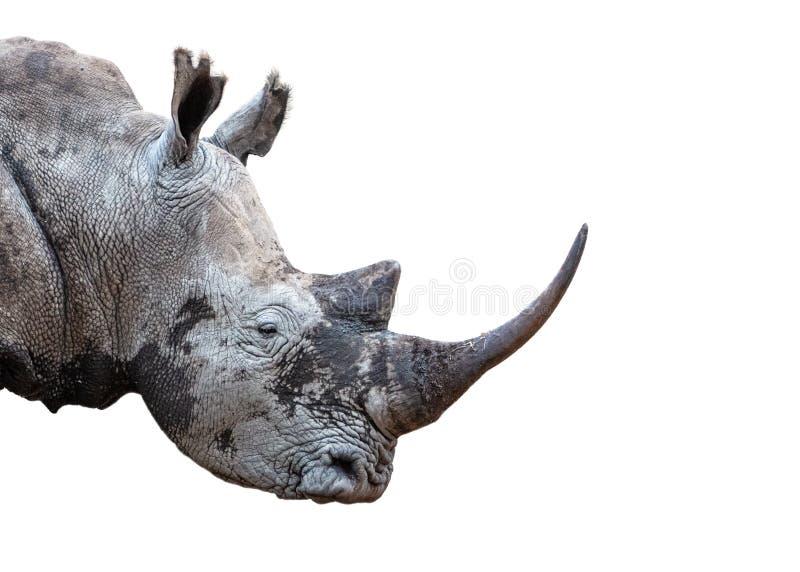 Le plan rapproché blanc du sud de klaxon de rhinocéros a extrait photo stock