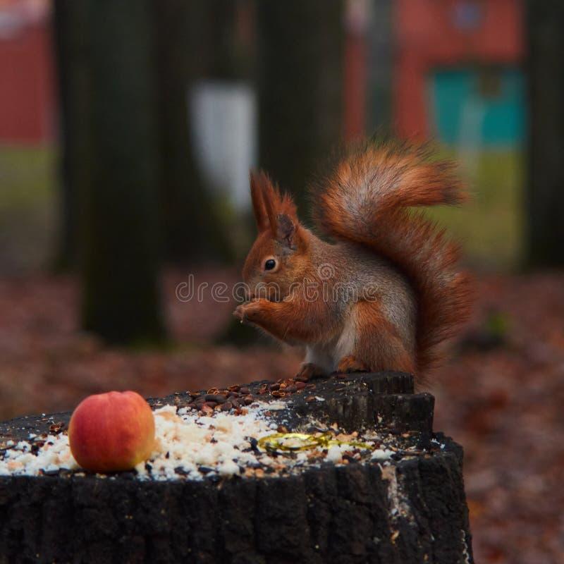Le plan rapproché d'écureuil, ronge des écrous en automne images stock