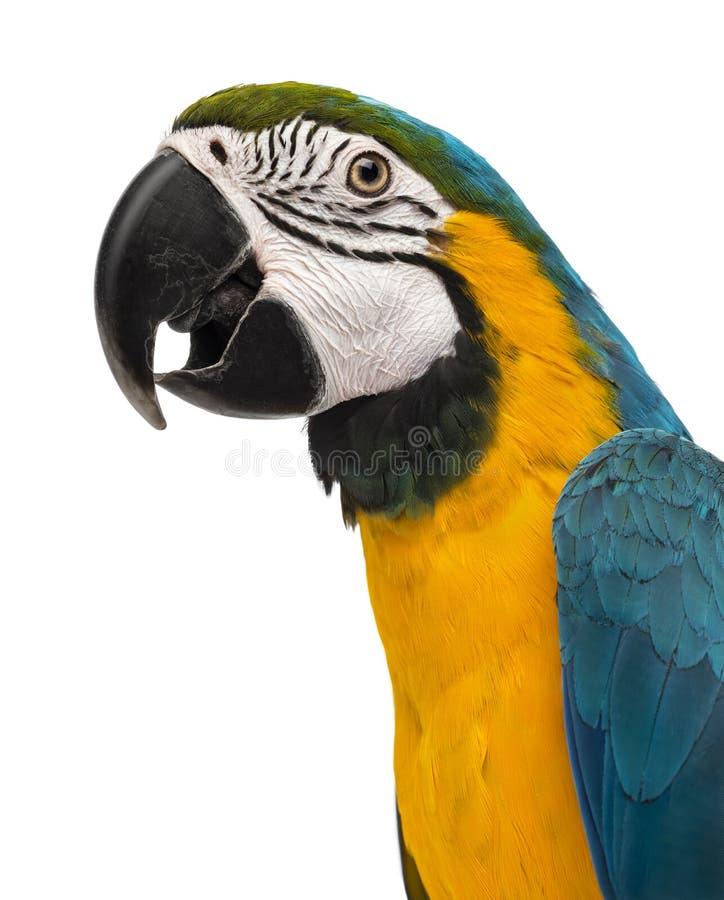 Le plan rapproché d'un ara Bleu-et-jaune (14 semaines de) isloated sur W photos stock