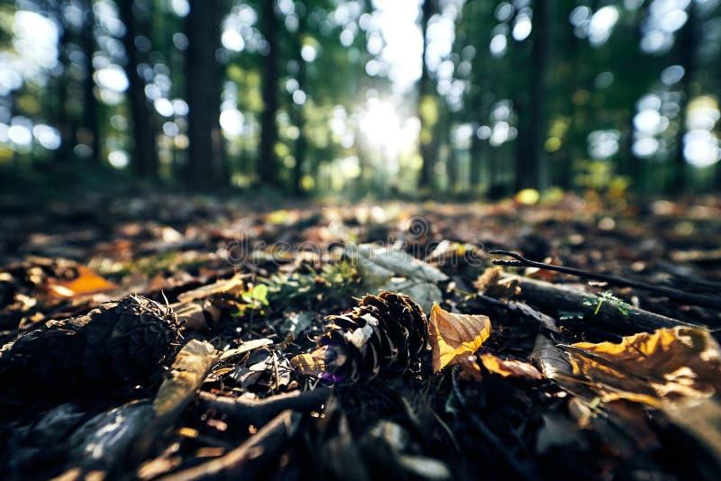 Le plan rapproché d'un cône de pin s'étendant au sol noir dans une forêt foncée dans la chute d'automne, le soleil speading la cu photographie stock