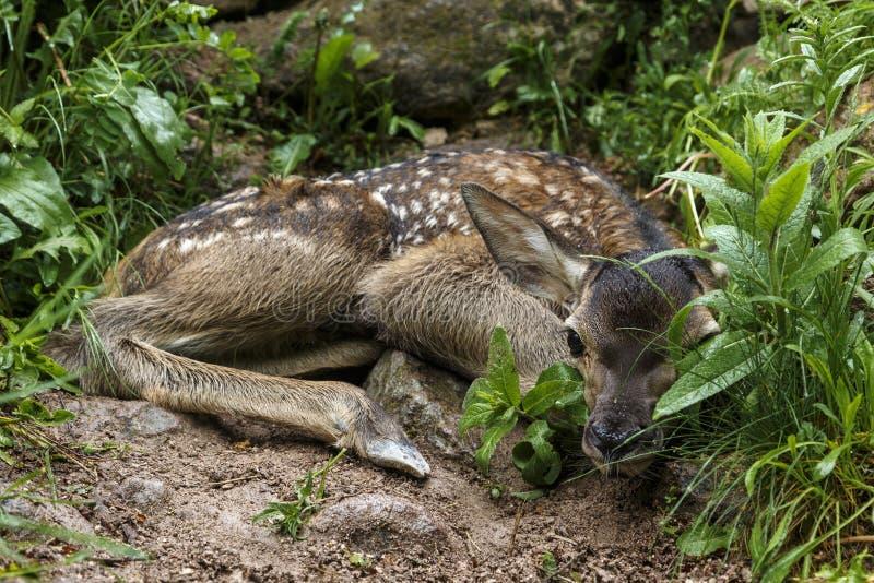Le plan rapproché d'un faon de cerfs de Virginie a enfoncé vers le bas dans un habitat de région boisée photo libre de droits