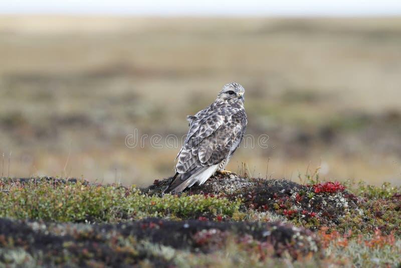 Le plan rapproché d'un jeune Lagopus rugueux-à jambes de Buteo de faucon a trouvé sur la toundra image stock