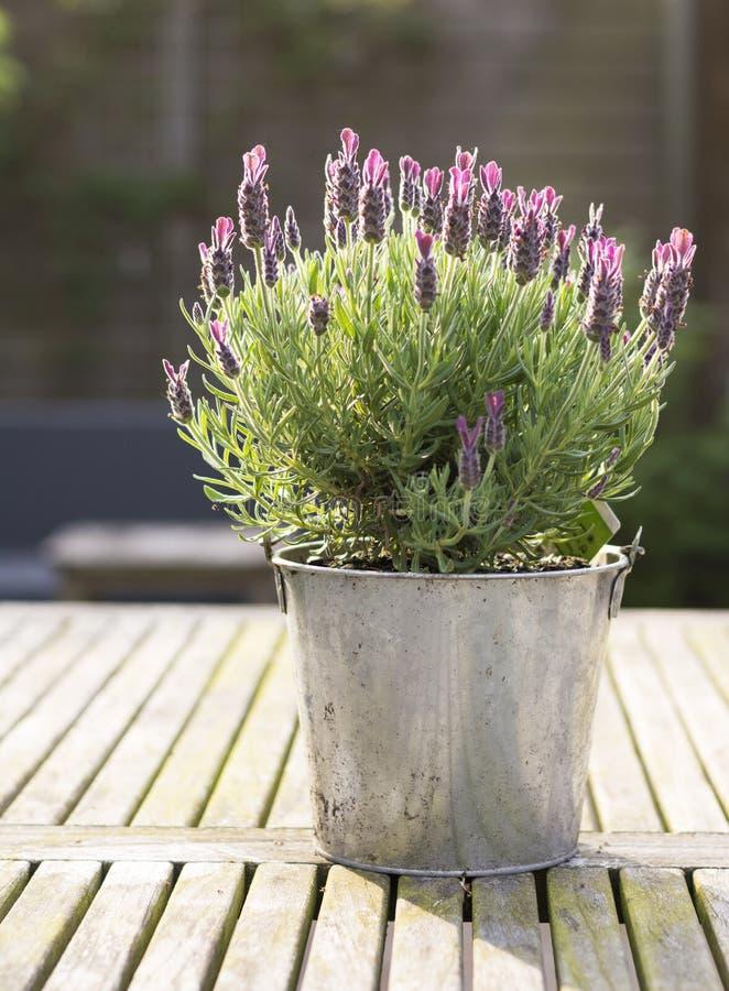 Le plan rapproché d'un pot a rempli de Lavandula sur une table en bois avec le fond trouble photo stock