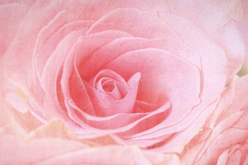 Le plan rapproché d'un rose s'est levé photo stock