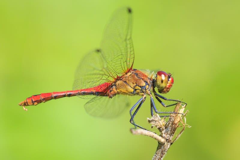 Le plan rapproché d'un rouge masculin a coloré le sanguineum vermeil de Sympetrum de darter photo libre de droits