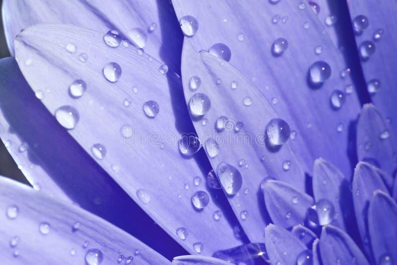 Le plan rapproché d'une fleur bleue avec de l'eau relâche image libre de droits