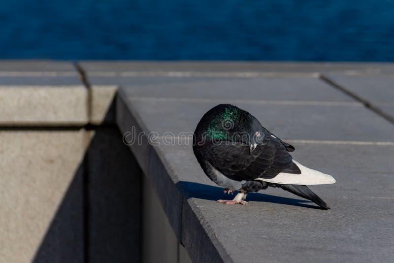 Le plan rapproché de colombe de sommeil, colombe a exceptionnellement tourné sa tête photographie stock libre de droits