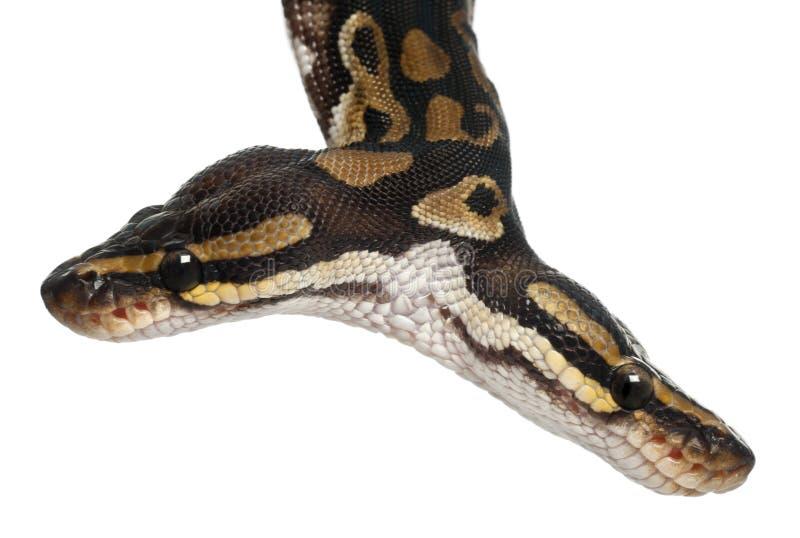 Le plan rapproché de deux a dirigé le python royal photographie stock