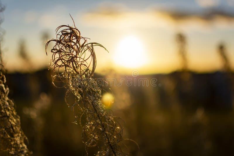 Le plan rapproché de l'herbe sèche sur le champ pendant le coucher du soleil en automne, bokeh parfait, beau ciel, accentue Fond  photo libre de droits