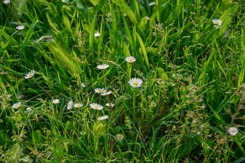 Le plan rapproché de l'oreille et de la marguerite de blé sauvage fleurit au milieu de la pelouse en parc à Bologna photo libre de droits