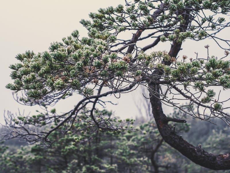 Le plan rapproché de la branche de pin dans le domaine de Kemeri amarrent en Lettonie - photos stock