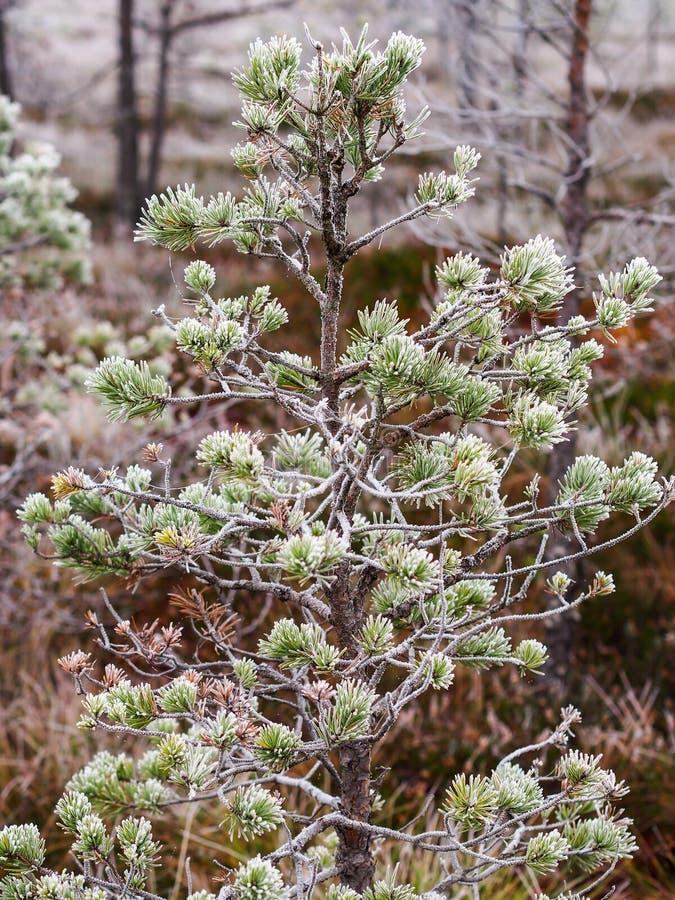 Le plan rapproché de la branche de pin dans le domaine de Kemeri amarrent en Lettonie photo libre de droits