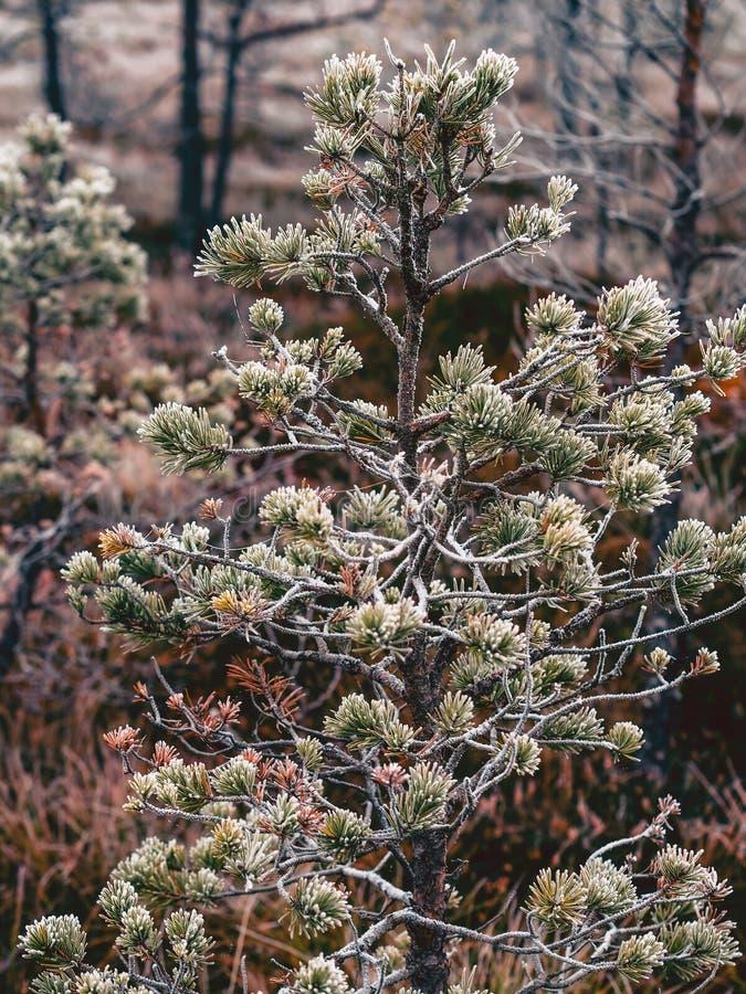 Le plan rapproché de la branche de pin dans le domaine de Kemeri amarrent en Lettonie - photographie stock