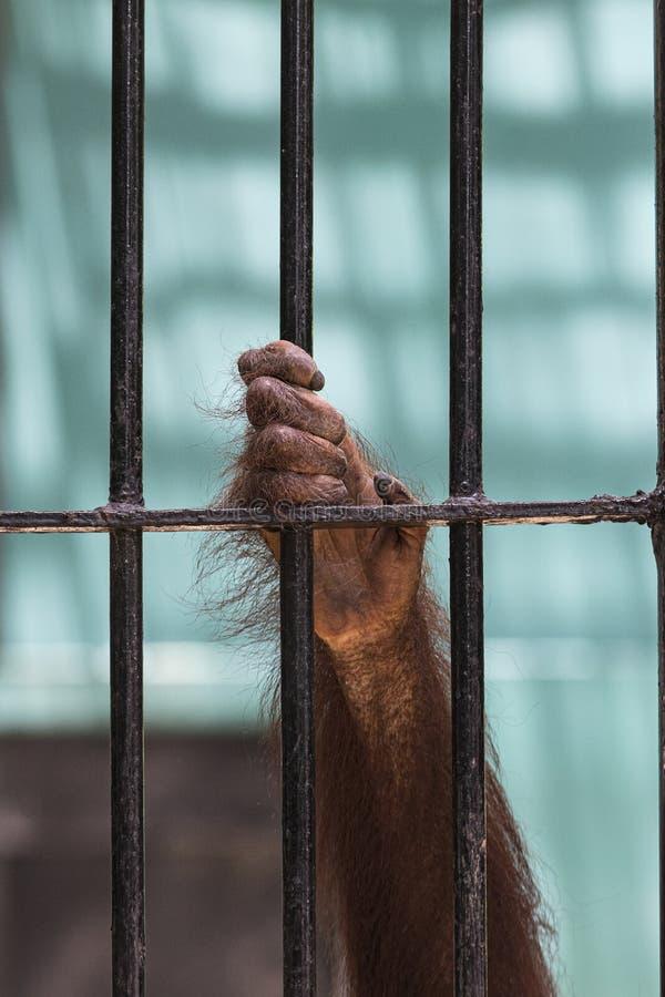 Le plan rapproché de la main de l'orang-outan montent la cage images stock