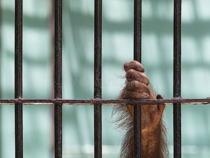 Le plan rapproché de la main de l'orang-outan montent la cage photos libres de droits