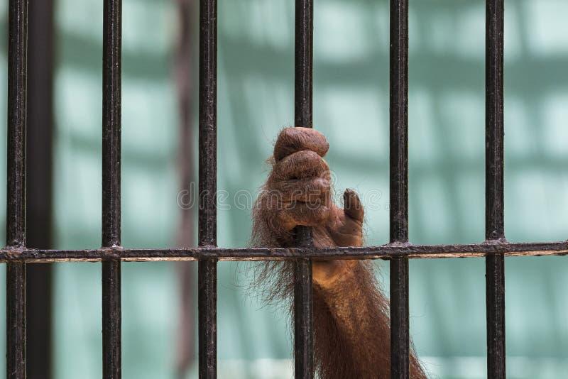 Le plan rapproché de la main de l'orang-outan montent la cage photo libre de droits