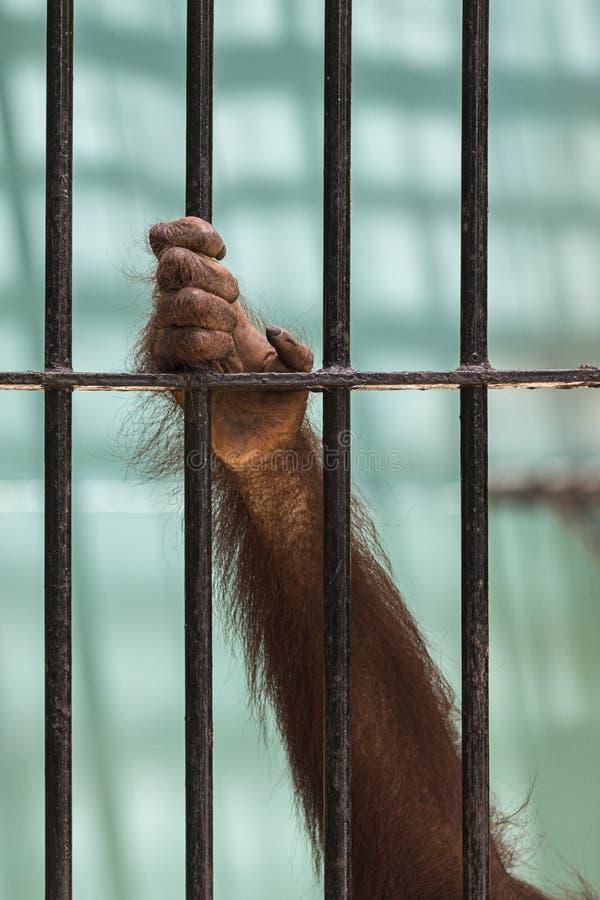 Le plan rapproché de la main de l'orang-outan montent la cage photo stock