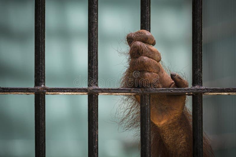 Le plan rapproché de la main de l'orang-outan montent la cage photographie stock