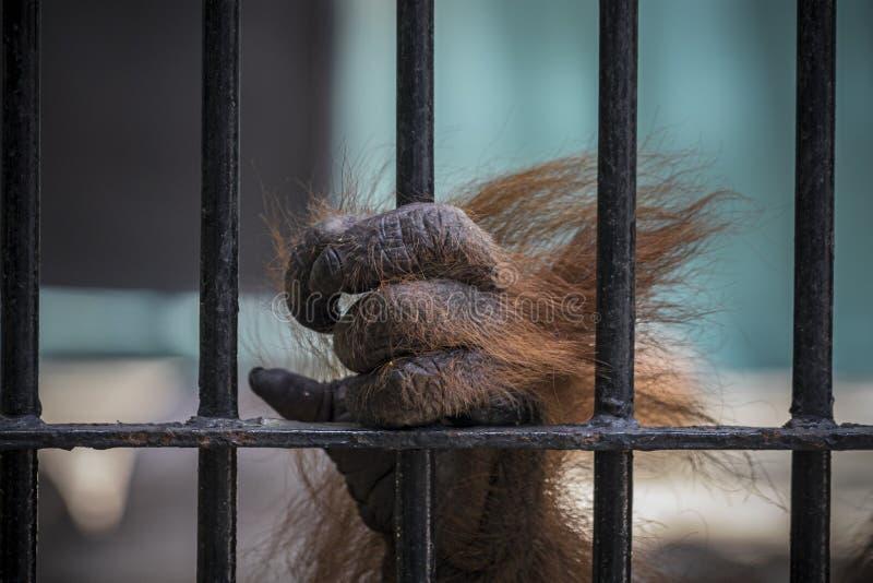 Le plan rapproché de la main de l'orang-outan montent la cage images libres de droits