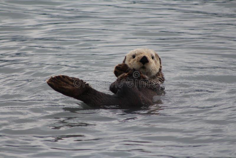 Le plan rapproché de la natation de loutre en Alaska glacial arrose image libre de droits