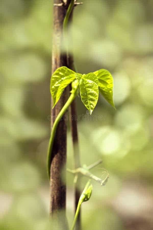 Le plan rapproché des haricots verts part dans un potager photos stock