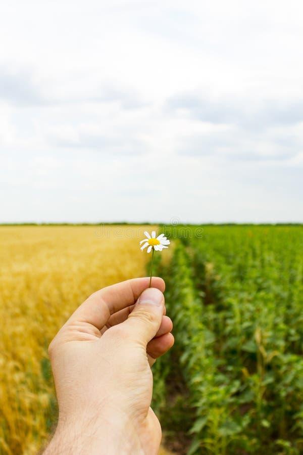 Le plan rapproché des mains et une marguerite fleurissent, un champ des tournesols et blé à l'arrière-plan images libres de droits