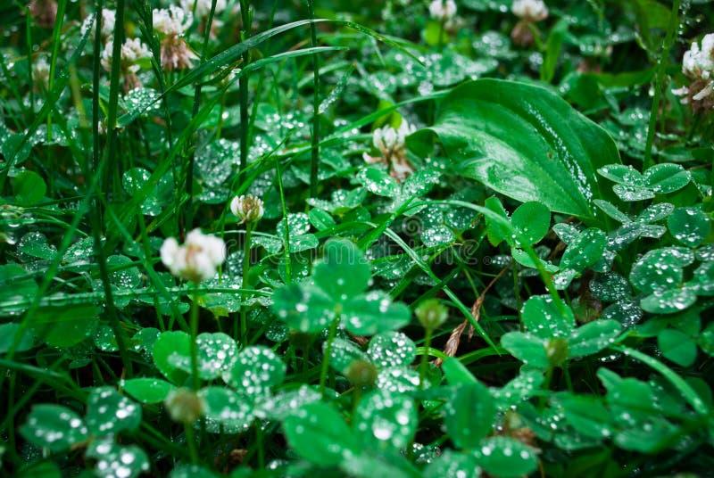 Le plan rapproché des trèfles de feuille avec la pluie se laisse tomber pendant le jour frais de matin photo stock
