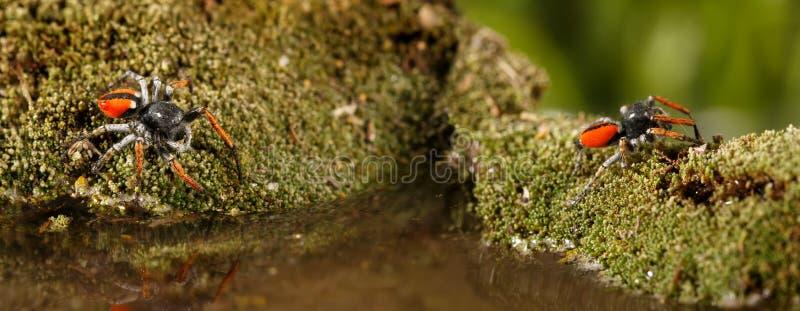 Le plan rapproché deux sautant des araignées, connues sous le nom de chrysops de Philaeus, court plus de l'eau sur le vert de mou images libres de droits
