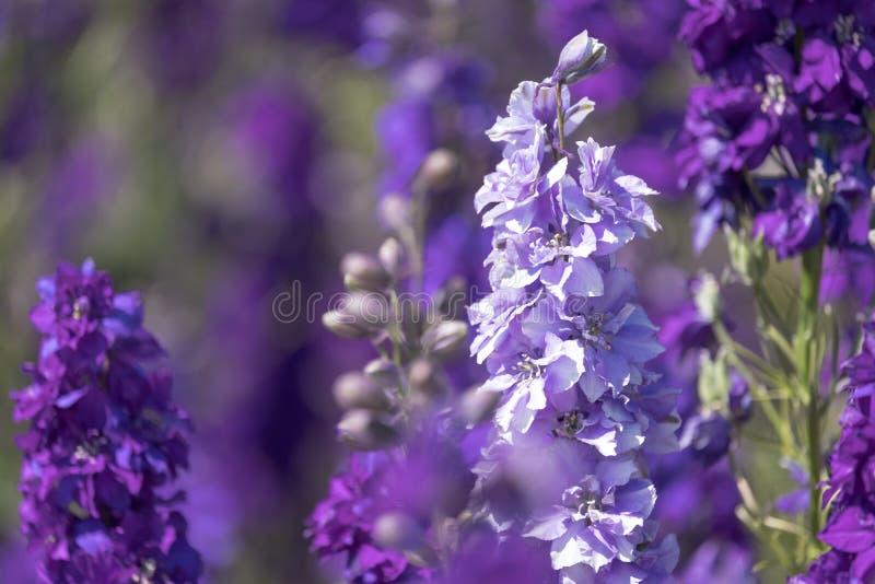 Le plan rapproché du delphinium pourpre fleurit dans le domaine à la mèche, Pershore, Worcestershire, R-U Les pétales sont utilis photo stock