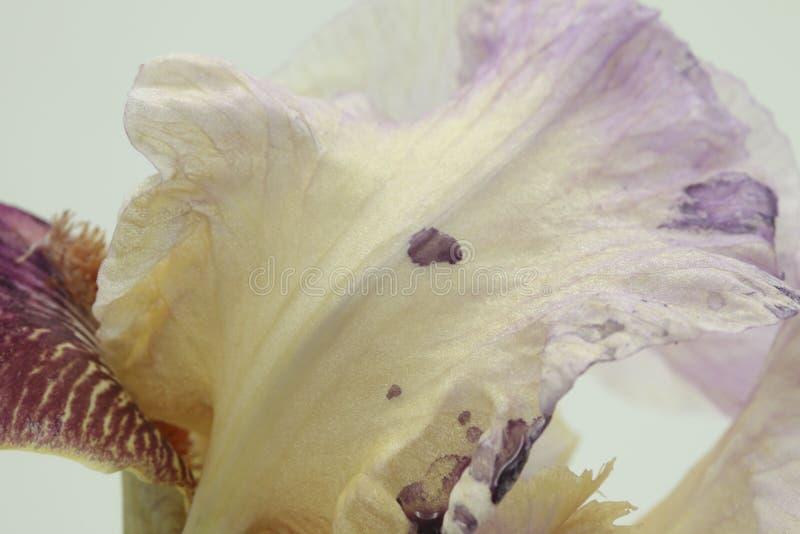 Le plan rapproché du germanica multicolore d'iris dans le lilas, jaunissent à l'arrière-plan blanc images stock