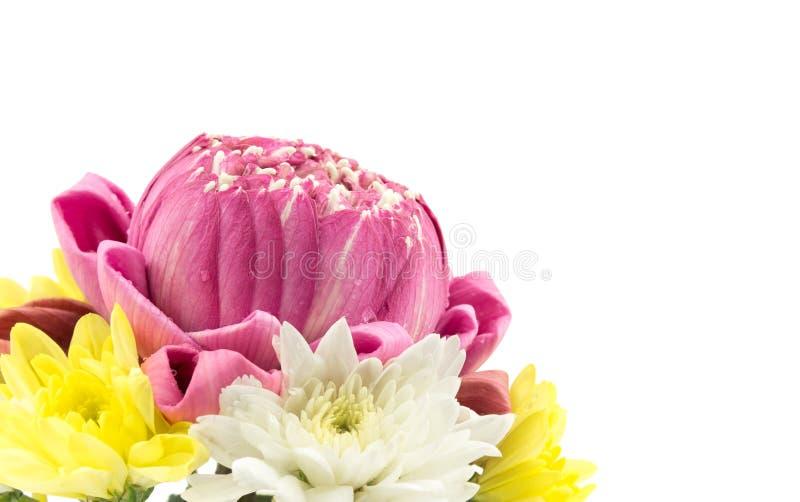 Le plan rapproché du lotus rose et le chrysanthème fleurissent sur le blanc images libres de droits