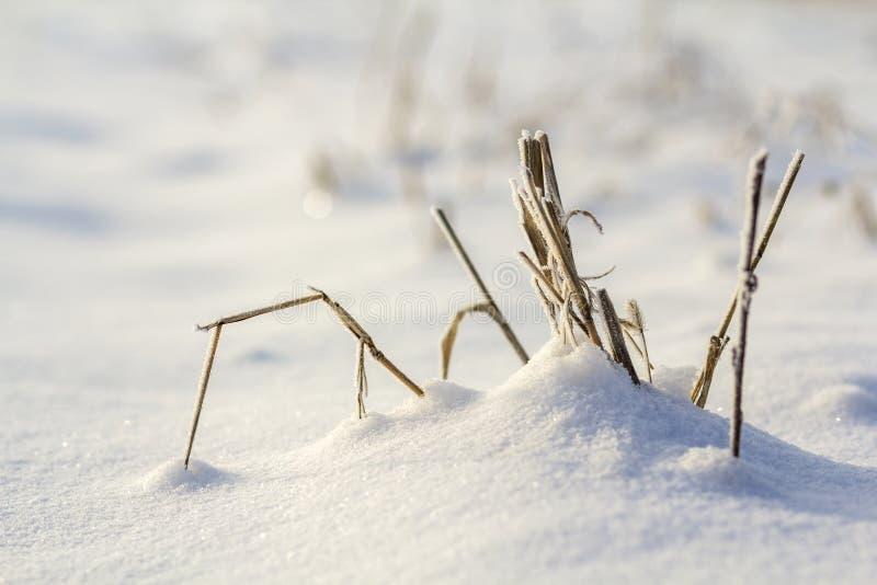Le plan rapproché du noir sec a défraîchi la chaume congelée, les tiges d'usines d'herbes couvertes de neige et le gel dans le do image stock