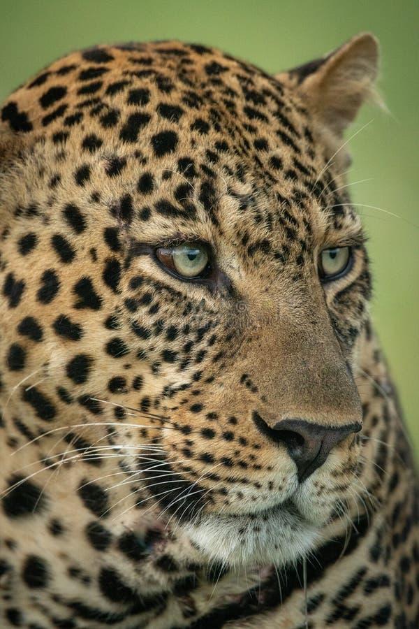 Le plan rapproché du visage masculin de léopard a tourné à droite image stock