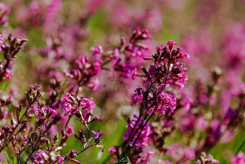 Le plan rapproché du yunnanensis de silene de plante médicinale a appelé le champion avec de petites belles fleurs pourpres images libres de droits