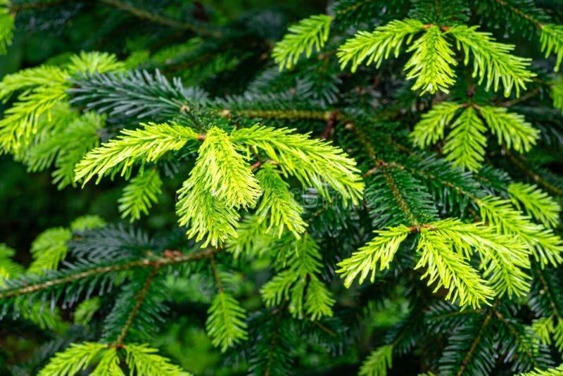 Le plan rapproché mou de belles jeunes aiguilles lumineuses sur les branches vert-foncé du sapin d'arbre conifére Abies le nordma images stock