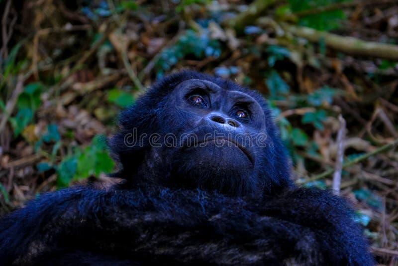 Le plan rapproché a tiré d'un orang-outan looing avec le fond naturel brouillé photo libre de droits