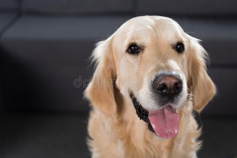 Le plan rapproché a tiré d'un regard adorable de chien de golden retriever photographie stock libre de droits