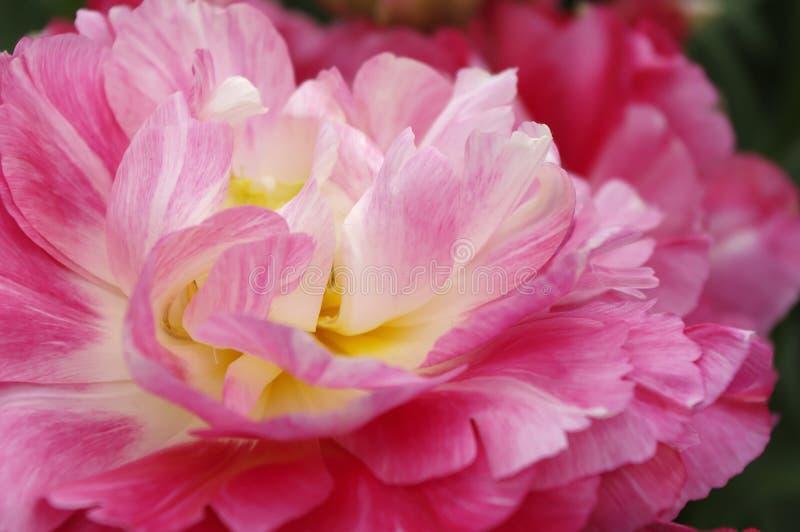 Le plan rapproché a tiré de la fleur rouge de pivoine dans le keukenhof photos stock