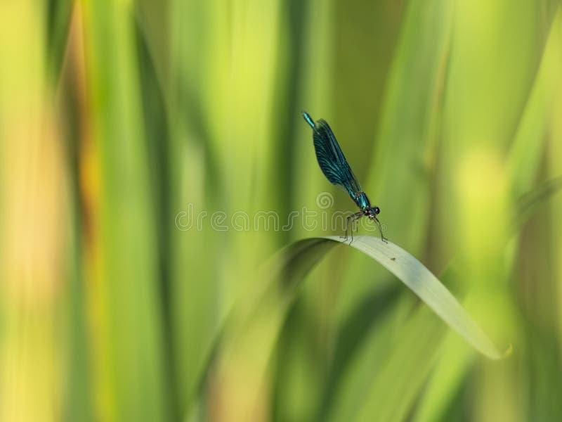 Le plan rapproché unique de libellule se repose sur la tige Fond de nature photographie stock