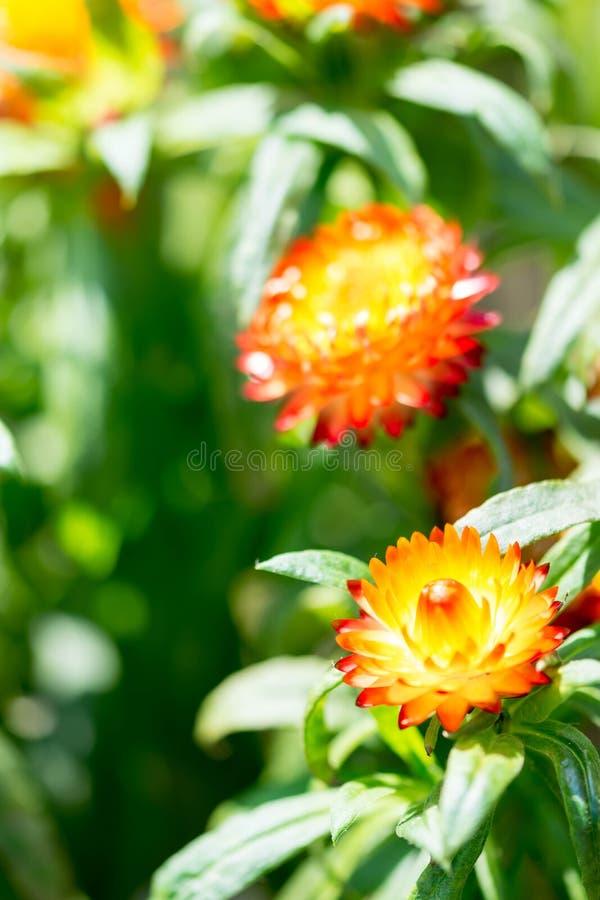 Le plan rapproché vertical a tiré d'une fleur orange avec un gre trouble mou photo libre de droits