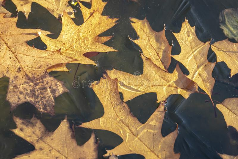 Le plan rapproch? du rubra rouge d?coup? d'or de quercus de ch?ne d'automne part sous la glace de l'?tang dans le jardin Sun rayo image libre de droits