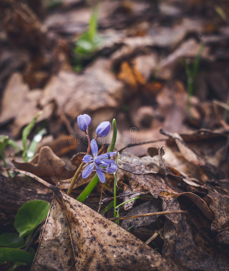 Le plancher de forêt en premier ressort Cloches bleues Scilla photos libres de droits