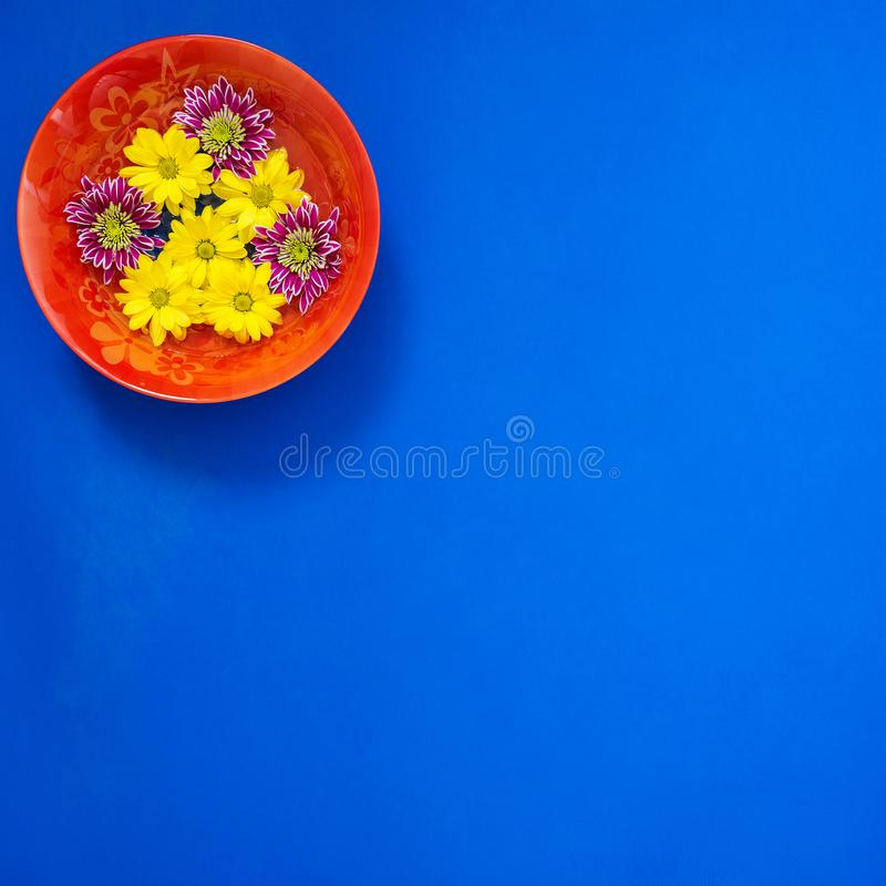 Le plat rouge avec le chrysanthème coloré fleurit sur le bleu images libres de droits