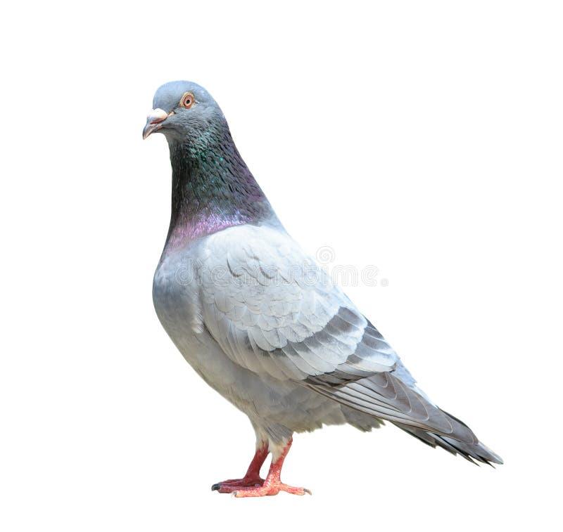 Le plein corps de l'oiseau masculin de pigeon voyageur a isolé le fond blanc image stock